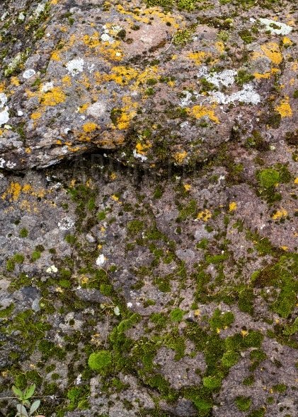 Colorful moss and lichen on a weathered rock