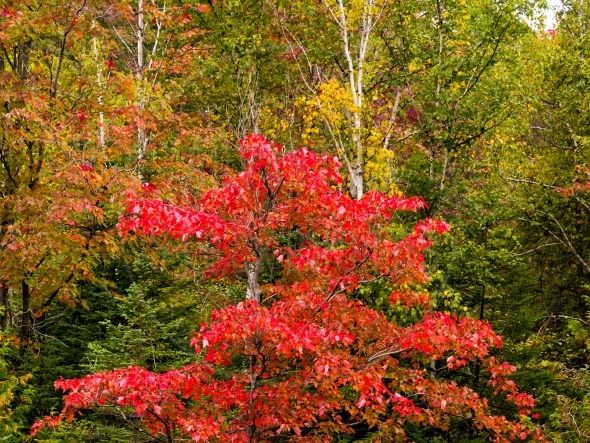 Red maple tree against yellow and green leaves