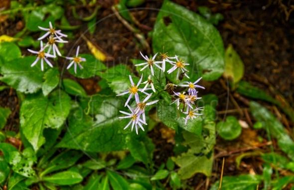 Whorled aster – Asteraceae Oclemena acuminata