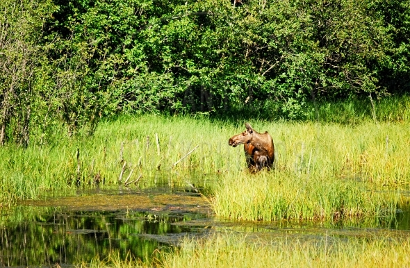 Moose cow standing in a marsh
