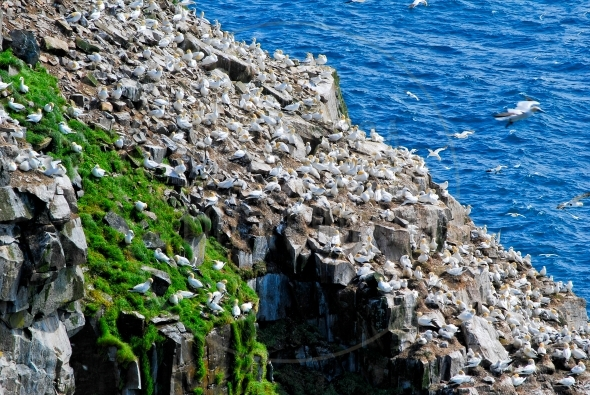 Northern Gannets nesting on a steep cliff