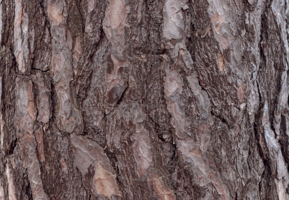 Pine Bark Texture / background / pattern