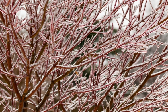 Red dogwood icy branches