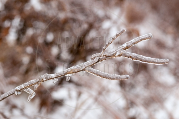 Frozen tree branch