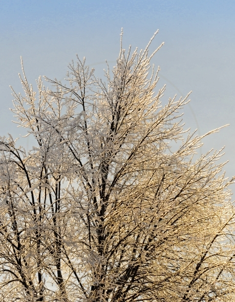 Tree with icy branches after an ice storm