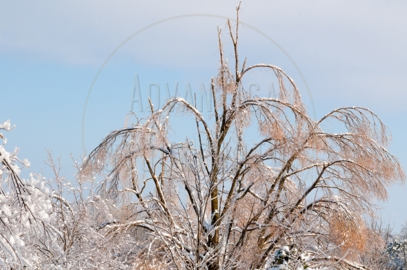 Willow Tree top after an ice storm