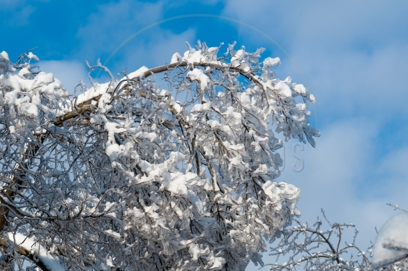 Tree branches laden with ice and snow