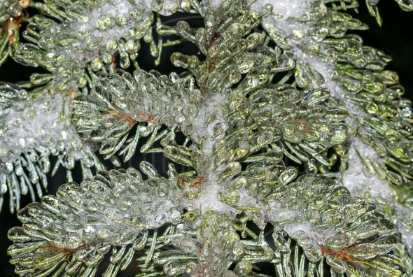 Close-up of frozen pine needles