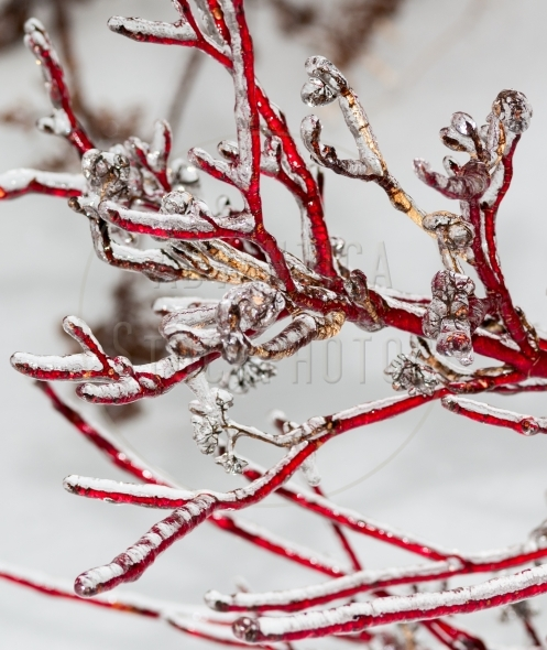 Red dogwood branches encased in ice