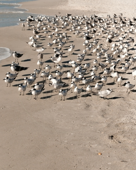 Flock of sandwich terns on beach