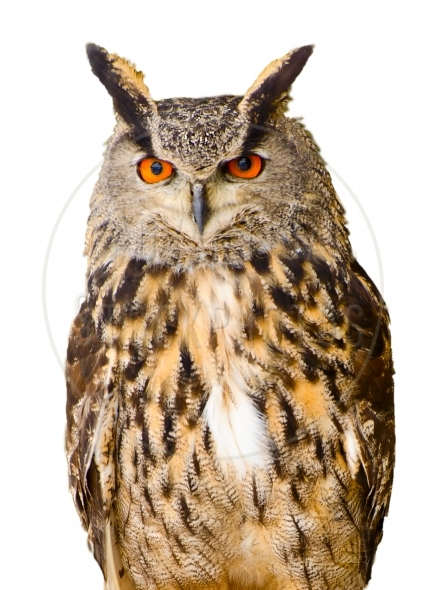 Eagle Owl isolated on white background