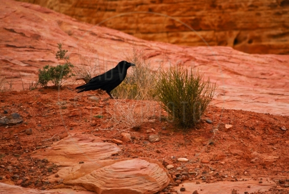 Raven on a red desert soil