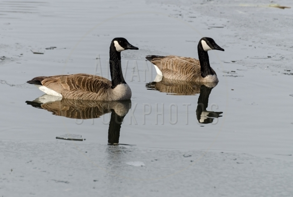 Canada geese swimming between ice floes